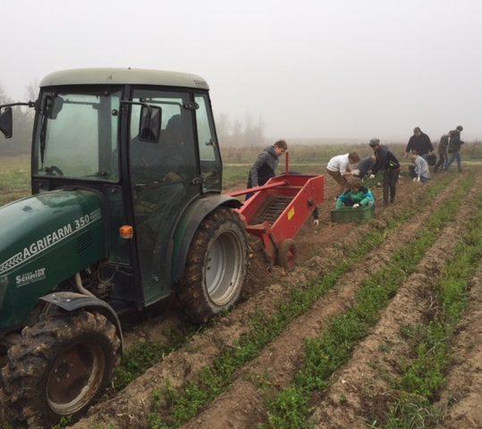 Kartoffelernte auf Gut Rosengarten
